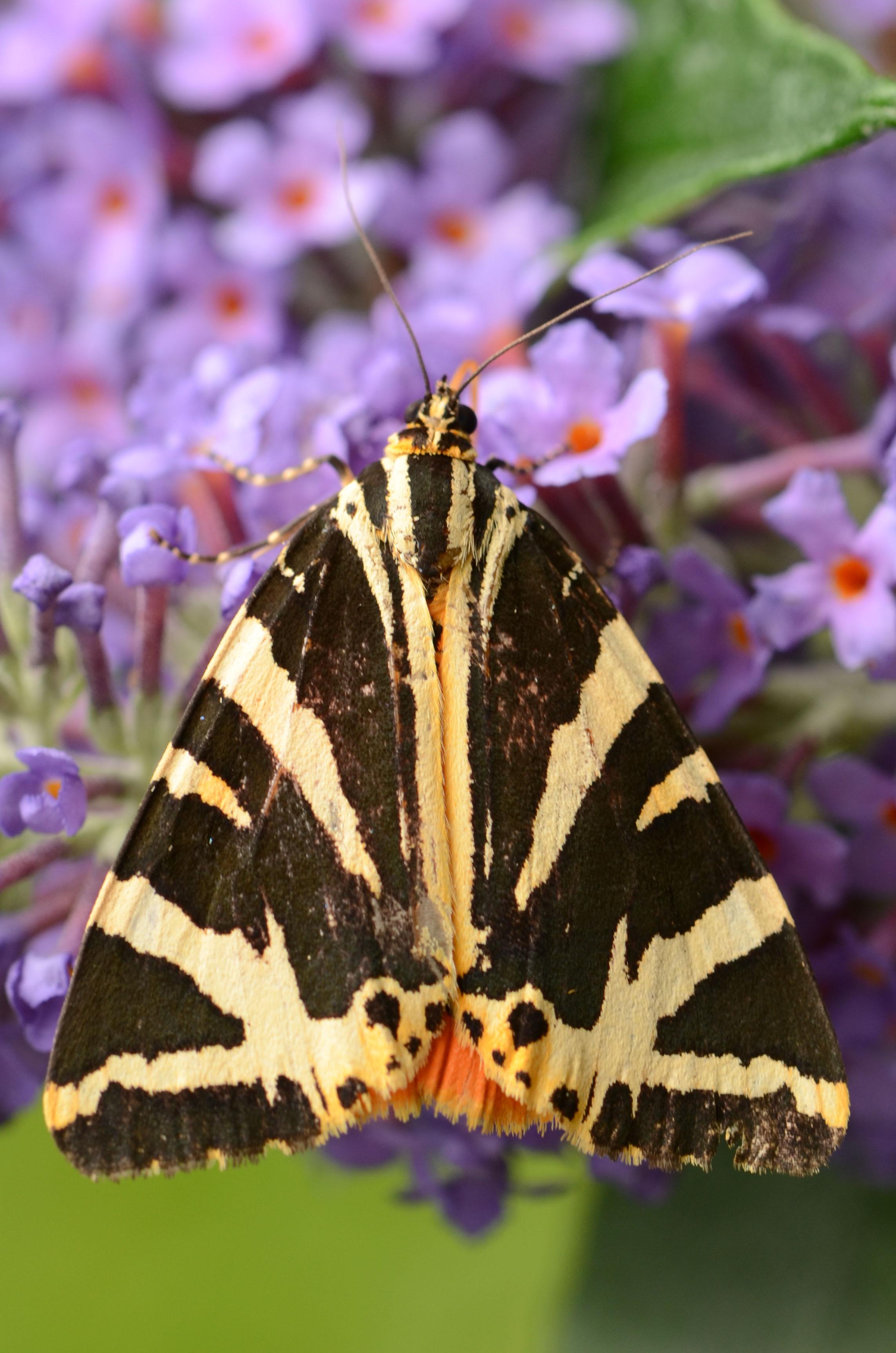 Jersey Tiger – A Dartmoor blog