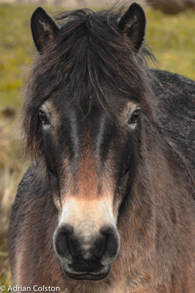 Exmoor pony 4