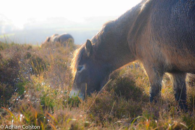 Exmoor pony 8