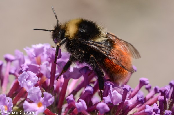 Mountain bumblebee