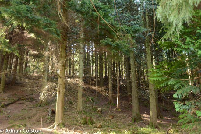 Under conifers