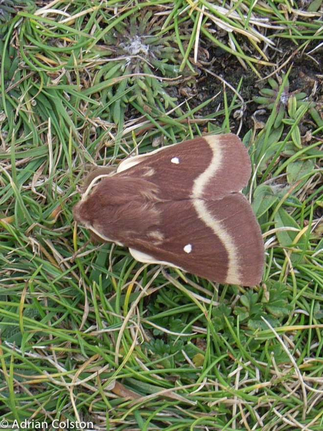 Oak eggar moth 1