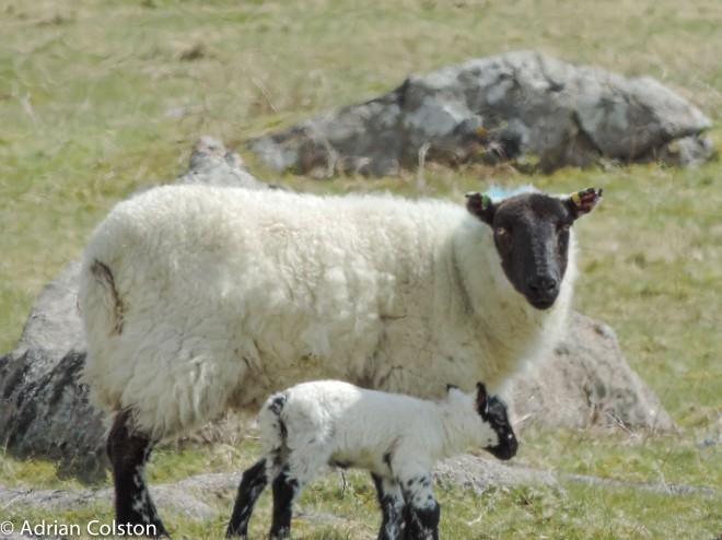 Sheep and lamb 1