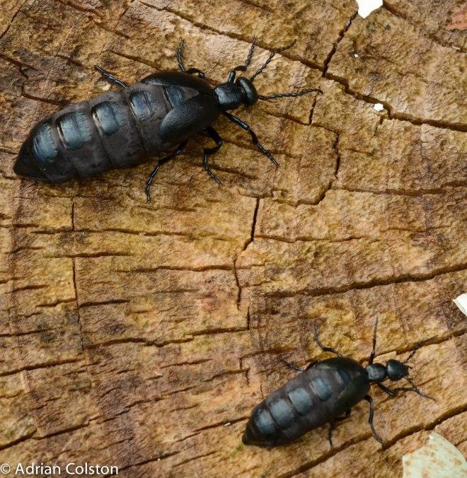 Oil beetles