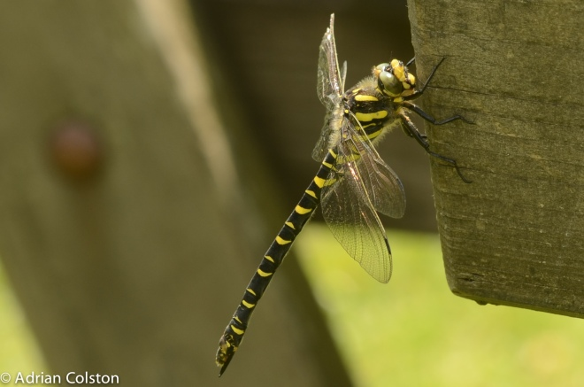 Golden ringed dragonfly 1