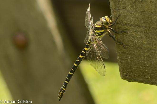 Golden ringed dragonfly 1