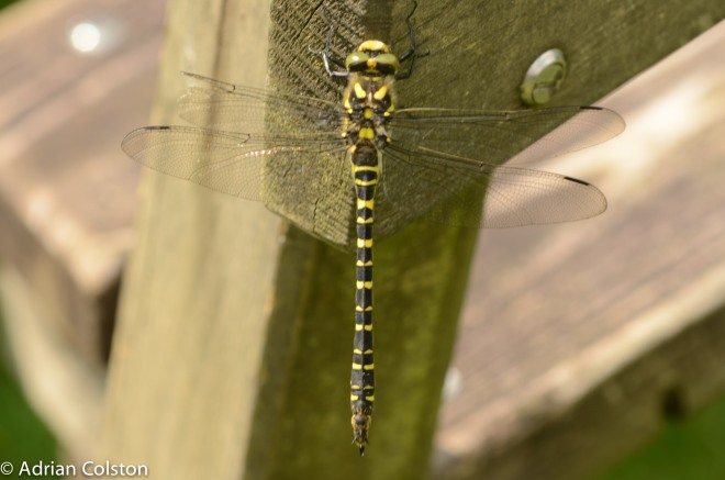 Golden ringed dragonfly 2