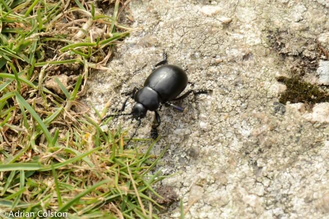 Bloddy nosed beetle