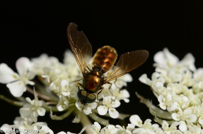 broad centurion, Chloromyia formosa 1