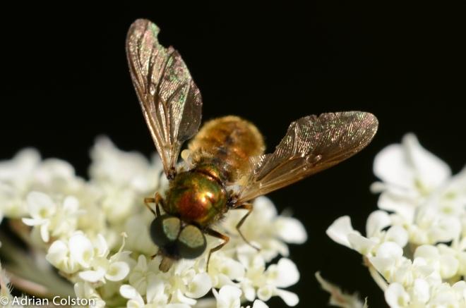 broad centurion, Chloromyia formosa 2