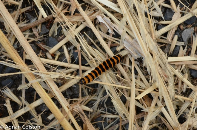 Cinnabar caterpillar 1