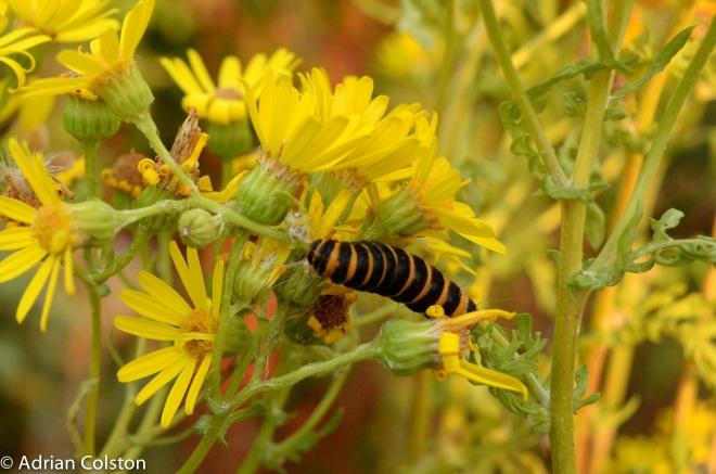 Cinnabar caterpillar 2