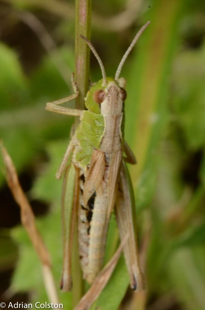 Meadow grasshopper 2