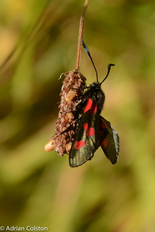 Narrow bordered 5 spot burnet 2