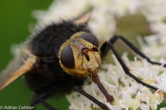 Tachina grossa 1