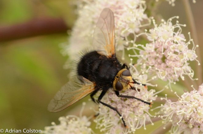 Tachina grossa 4