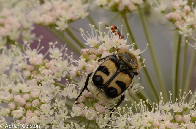 Trichius fasciata 1