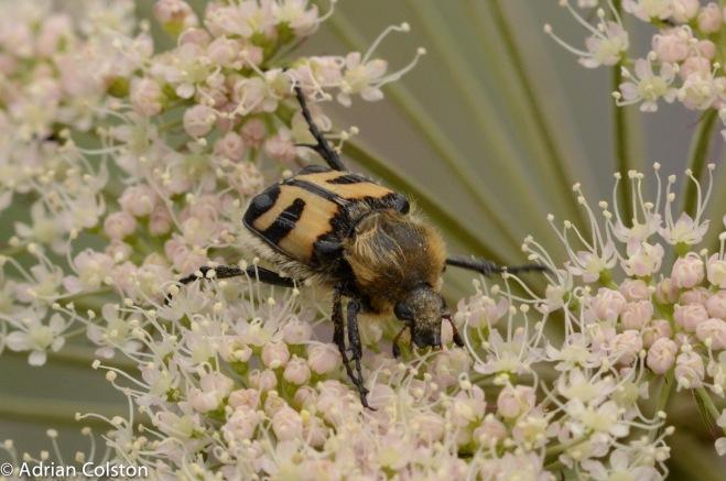 Trichius fasciata 4