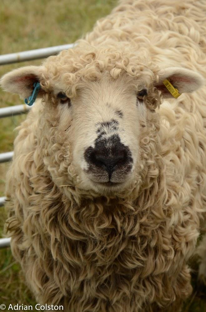 Greyface sheep 2