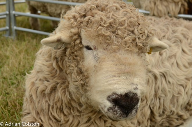 Greyface sheep1
