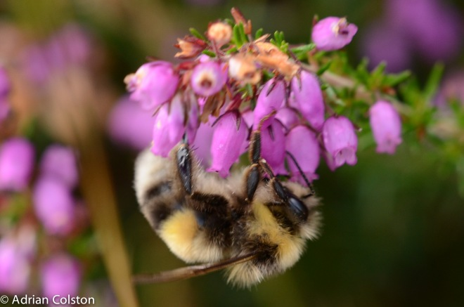 Heath bumblebee 2