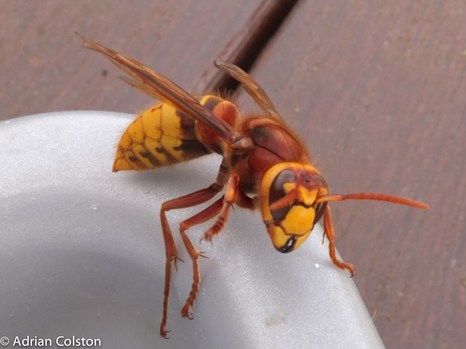 How To Remove A Hornet From Your House A Dartmoor Blog