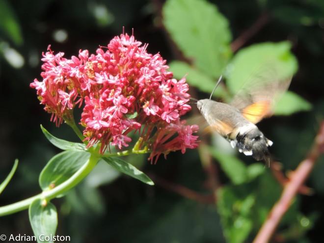 Hummingbird hawk moth 1