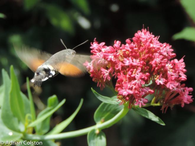 Hummingbird hawk moth 2