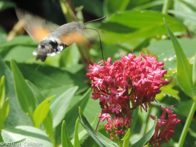 Hummingbird hawk moth 3