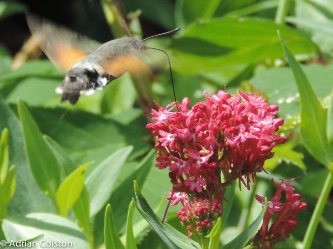 Hummingbird hawk moth 3