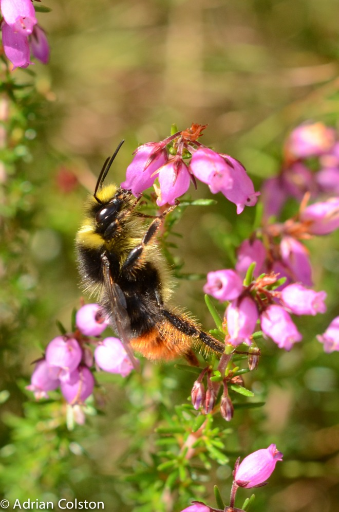 Mountain bumblebee 1
