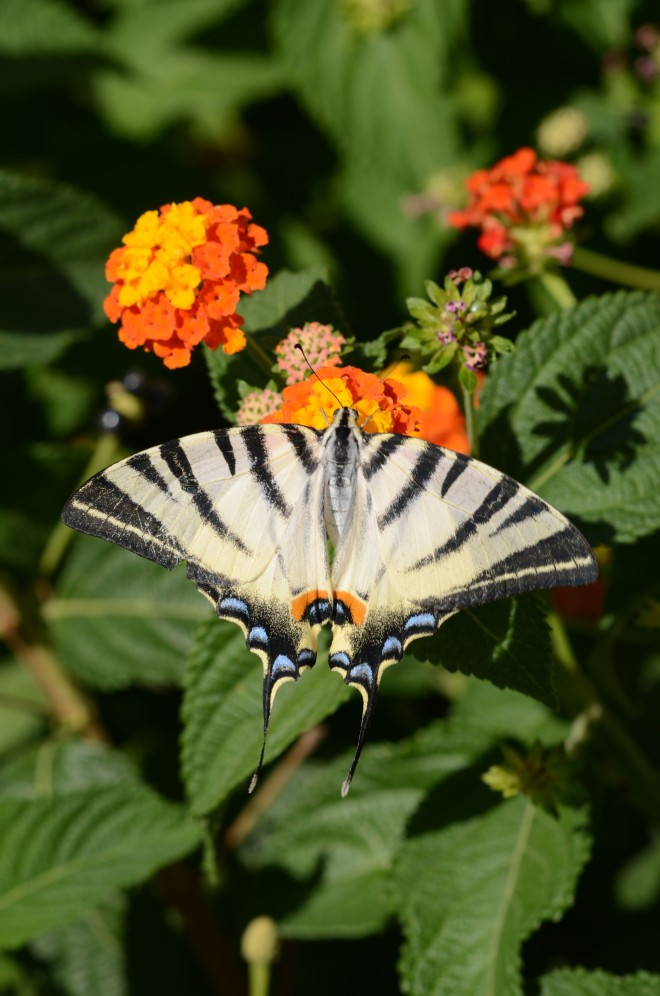 Scarce swallowtail 2
