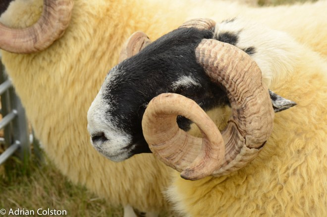 Scotch blackface sheep