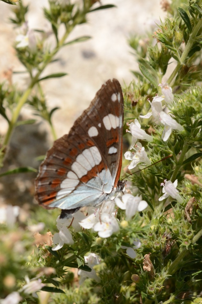 Southern White Admiral 3