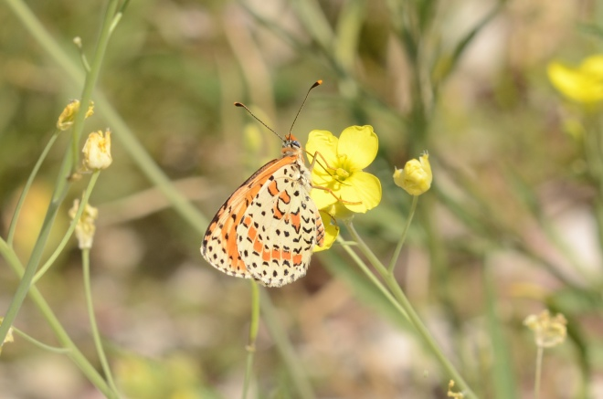 Spotted fritillary 1