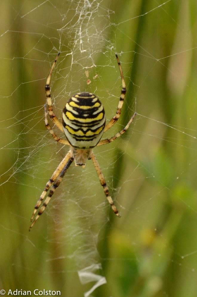 Wasp spider 1