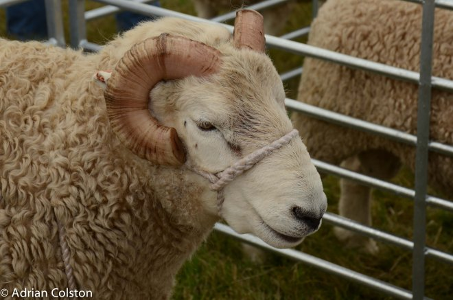 Whiteface sheep 1