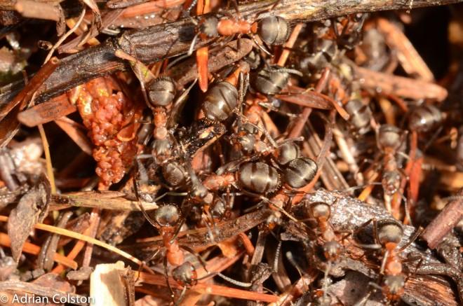 Wood ant 3
