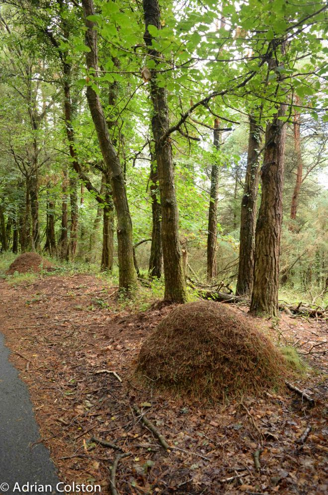 Wood ant 5