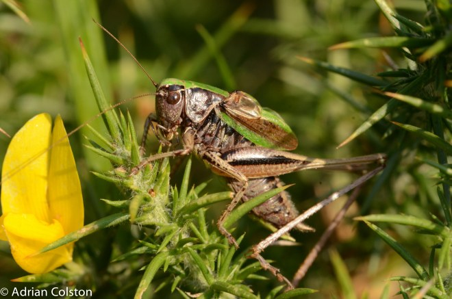 Bog bush cricket male