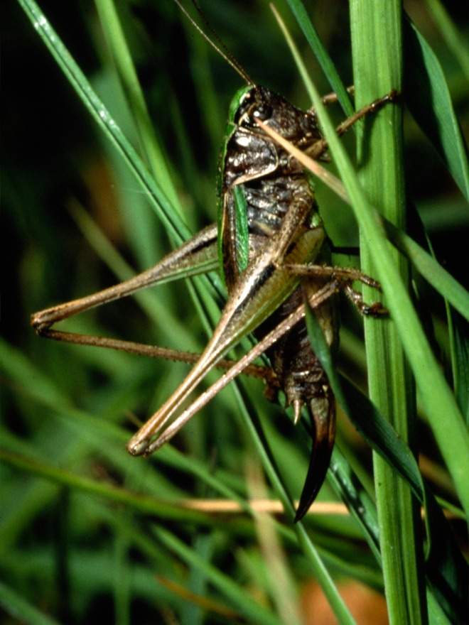 Bog Bush-cricket