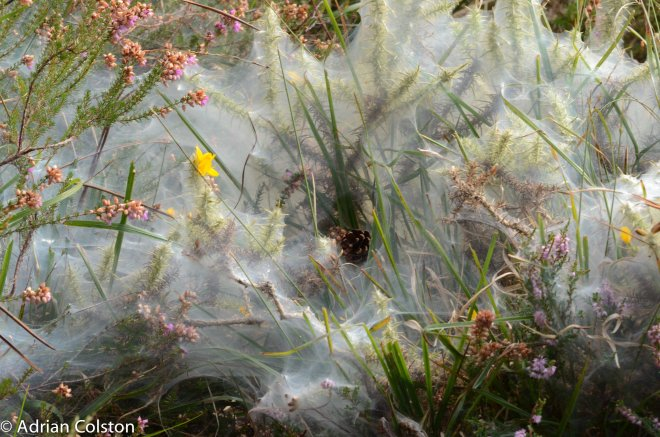 Gorse spider mite