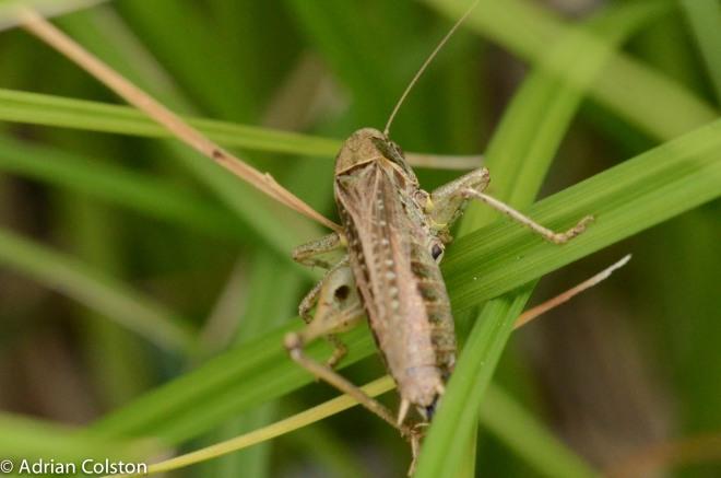Grey bush cricket