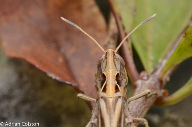 Rufous grasshopper 3