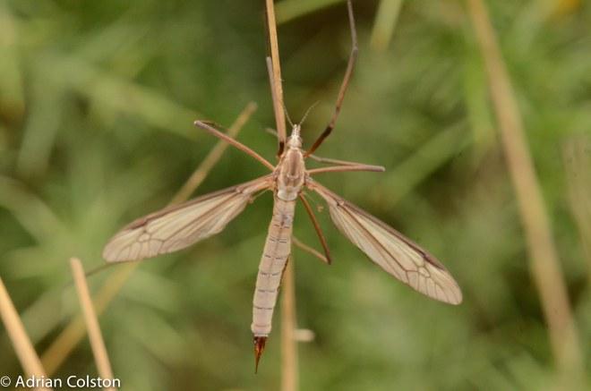 Tipula paludosa 3