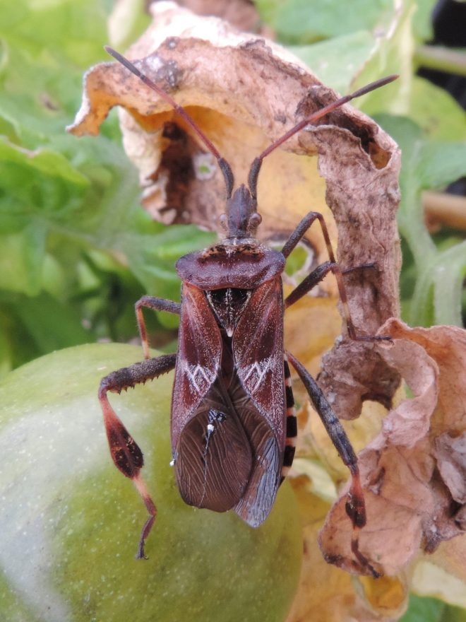 Western Conifer Seed bug 1