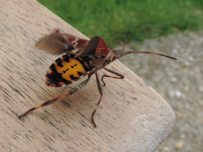 Western Conifer Seed bug 2
