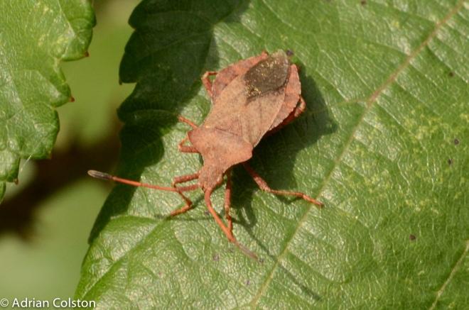 Brown shield bug 2