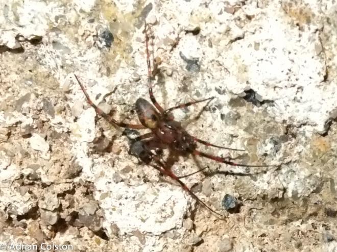 Cave spider 2