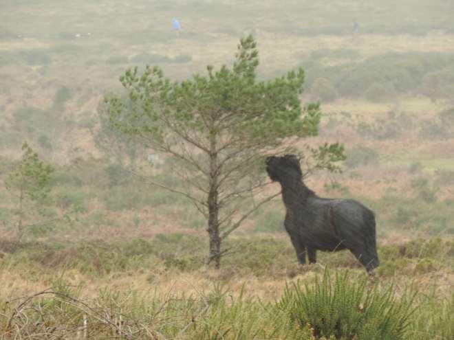 Haytor pony 2